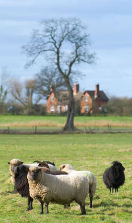 facing the camera: Sheep facing camera with farm building in the background Stock Photo