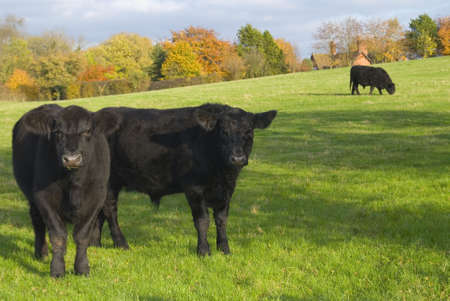 black angus cattle: Cows in rural countryside field