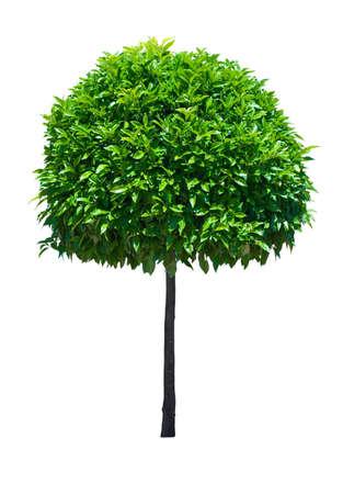 Sierdoeleinden brede blad groenblijvende boom geïsoleerd op witte achtergrond