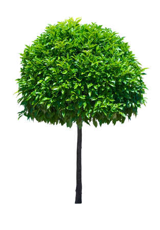 Zier breites Blatt immergrüne Baum isoliert auf weißem Hintergrund