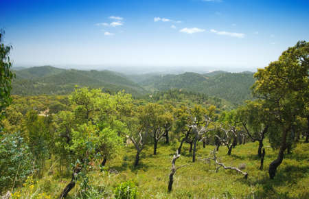 quercus: Cork Trees (Quercus Suber) in the Monchique mountains, Portugal - the bark is harvested for making wine bottle corks