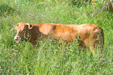 undergrowth: Cow amongst the undergrowth