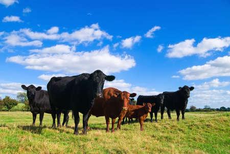vee: Groep van jonge koeien in een veld van de zomer Stockfoto