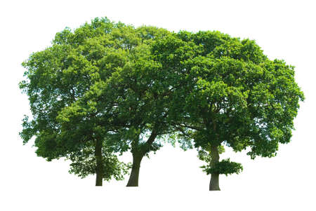 copse: A copse of three oak trees isolated on a white background Stock Photo
