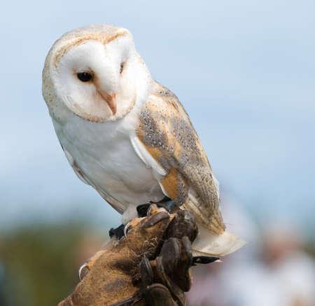 handlers: Barn Owl perched on handlers glove