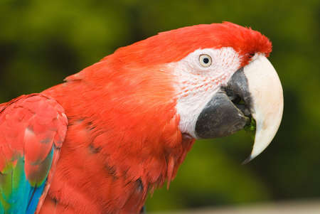 Close up image of a South American Scarlet Macaw photo