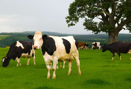 Dairy cows in a lush green field photo