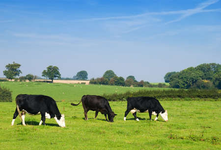 grazing land: Dairy cows grazing in a field with sheep in the background Stock Photo