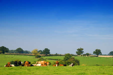 Young dairy cattle in a green field photo