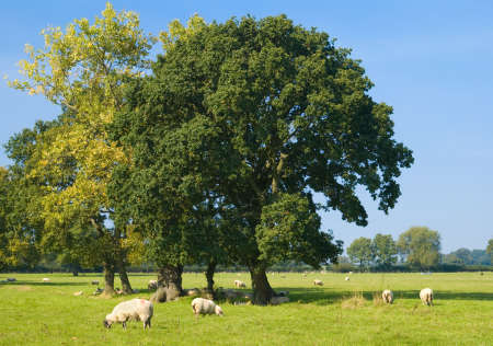 Sheep grazing in an autumn field under trees photo
