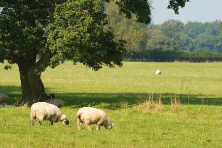 ewes: Sheep grazing and resting under the shade of a tree
