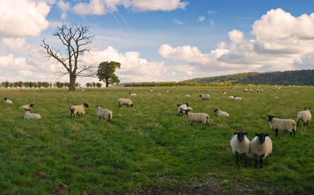 Black faced sheep in a field photo