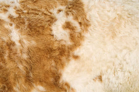 pelt: Texture of a cow hide in white and tan