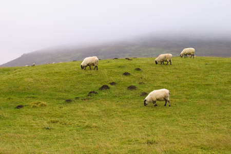 Sheep on a hill farm, low cloud behind, Shropshire, UK Stock Photo - 4069722