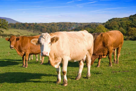 Group of dairy cows in farmland photo
