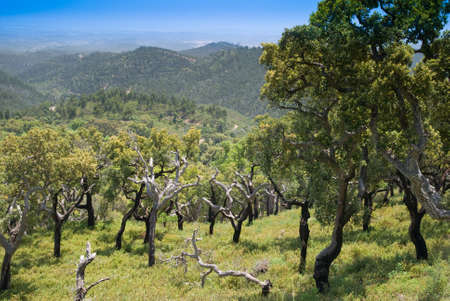portugal agriculture: Cork Trees (Quercus Suber) in the Monchique mountains, Portugal - the bark is harvested for making wine bottle corks