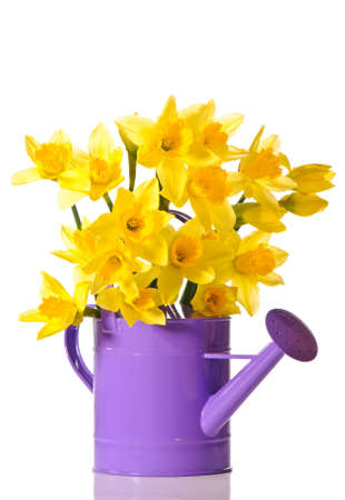 watering can: Yellow daffodils in purple watering can Stock Photo
