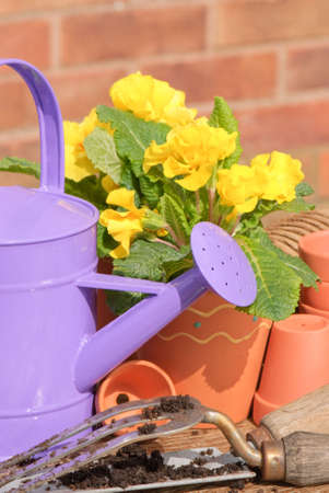 primroses: Purple watering can with potted primroses and empty pots