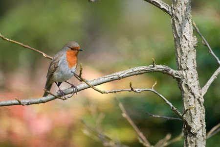 Robin sitting in branch of a tree Stock Photo - 4726773