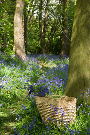 copse: Collecting wild bluebell flowers in a basket on a country walk in the sunshine