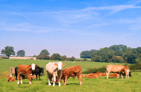 grazing land: Summer field of cows and calves with sheep in rural setting Stock Photo