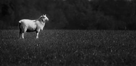 Black & White sheep alone in field photo