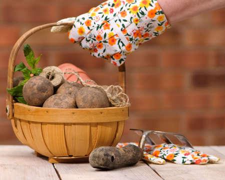 unwashed: Mano guantata di sollevamento Trug uno pieno di patate appena scavato
