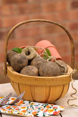 unwashed: Trug of freshly dug organic saxon potatoes with garden glove etc
