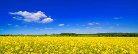 cash crop: Rape seed field in summer with blue sky and clouds