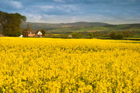 cash crop: Shropshire farmland planted with rape seed plants with rolling hills in background Stock Photo