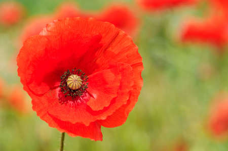 Close up of a perfect vibrant red poppy in summer field, a symbol of peace
