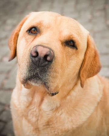 unloved: Old golden labrador dog with sad expression