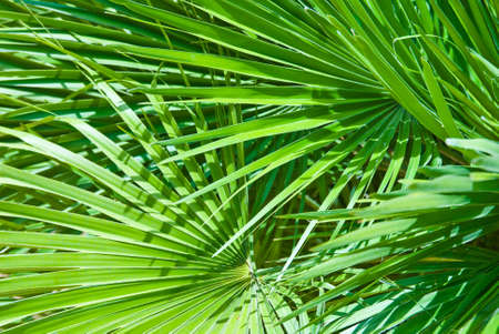 natural vegetation: Tropical palm leaves, ideal as a background texture