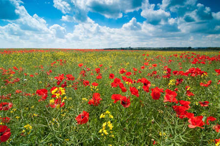 Summer poppy field in English countryside with blue sky and fluffy clouds