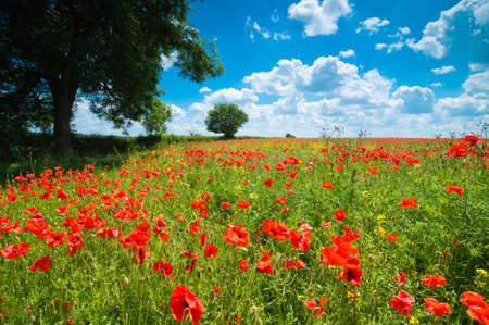 worcestershire: Summer poppy field with lovely blue cloudy sky