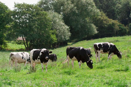 Black and white friesian cows grazing in pasture land photo