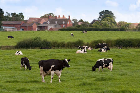 Black and white friesian cows grazing in meadow with farm house in background photo
