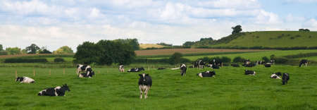 crazing: Panorama view of cattle crazing in countryside meadow