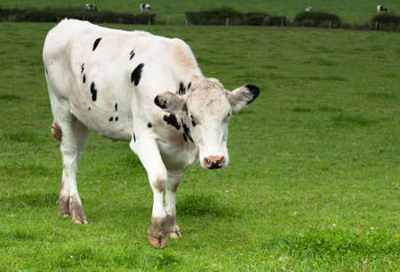 Black and white diary cow in lush green meadow photo