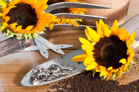 Sunflower seeds on rustic trowel with sunflower blooms photo