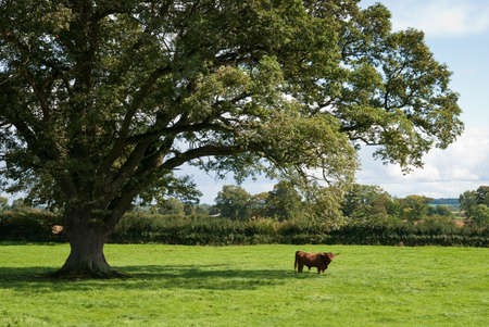 Highland cow in the distance under impressive English oak tree photo