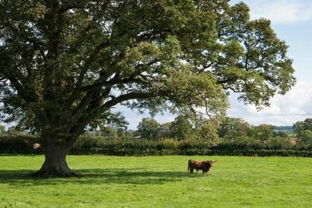 english oak: Highland cow in the distance under impressive English oak tree Stock Photo