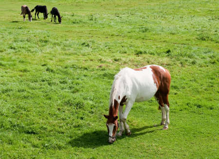 skewbald: Skewbald horse grazing with three others in background