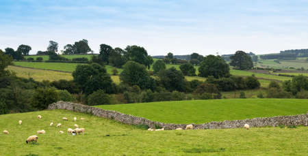 Sheep in traditional dry stone wall field in Lake District, Cumbria, UK photo