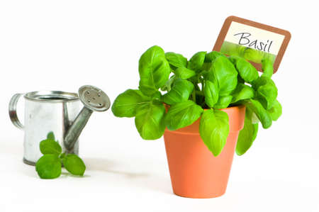Potted basil herbs with miniature watering can on white background photo