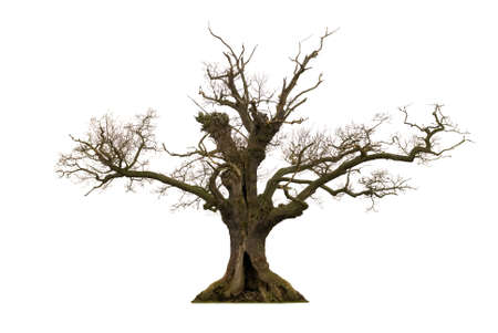 dead trees: Dead hollow oak tree isolated on white background Stock Photo