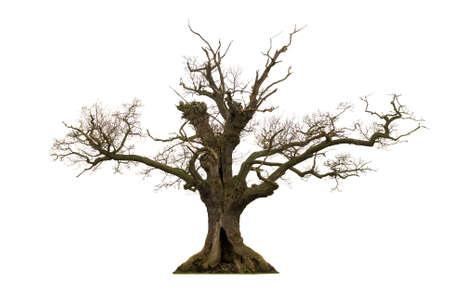 dode bladeren: Dode holle eikenbomen geïsoleerd op witte achtergrond