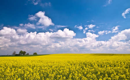 Field of bright Canola crop in Shropshire