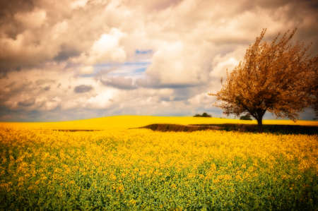 Surreal landscape of Canola rapeseed field with apple blossom tree photo