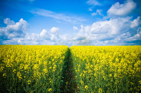 Pathway through meadow of canola flowers with blue summer sky Stock Photo